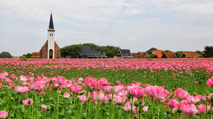 Een enorm veld met bloeiende papaver op Texel. Op de achtergrond staat het kerkje van Den Hoorn.