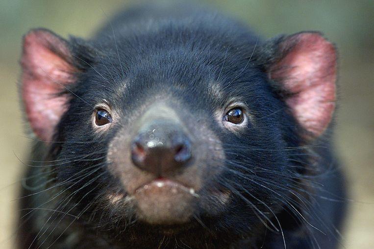 Een Tasmaanse duivel