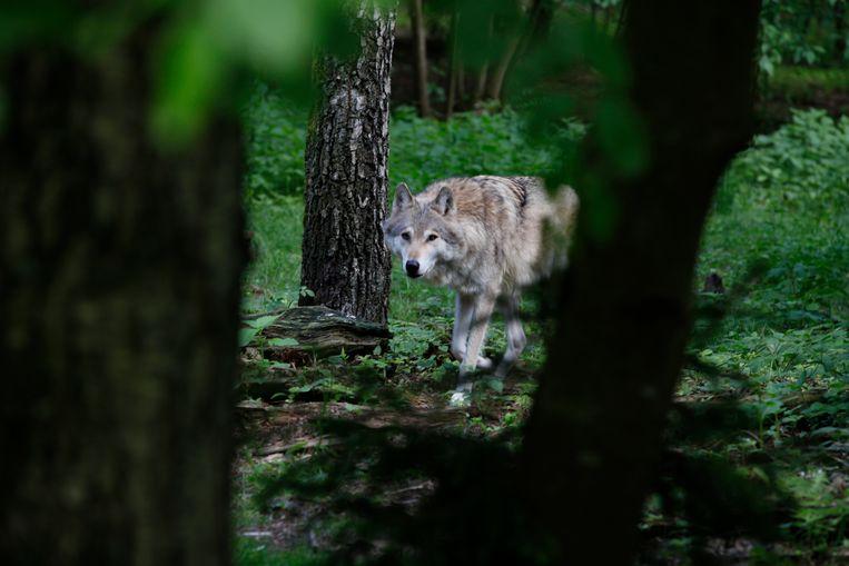 Een wolf kan op een dag wel 150 kilometer afleggen. Beeld Marielle van Uitert
