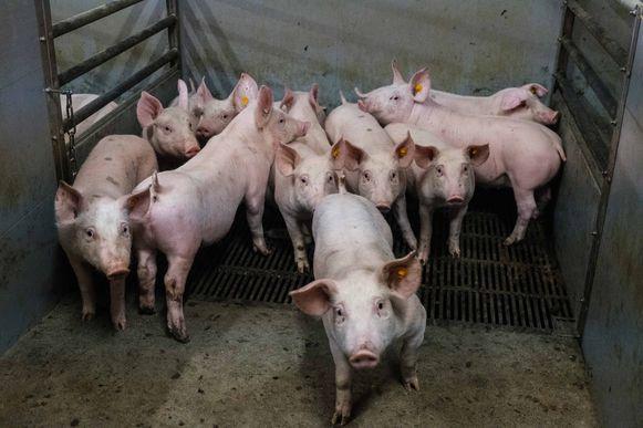 De nieuwe varkensstal moet aan heel wat voorwaarden voldoen.