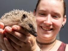 Egel-alarm bij De Mikke: recordaantal zieke en verzwakte egels én het geld raakt op