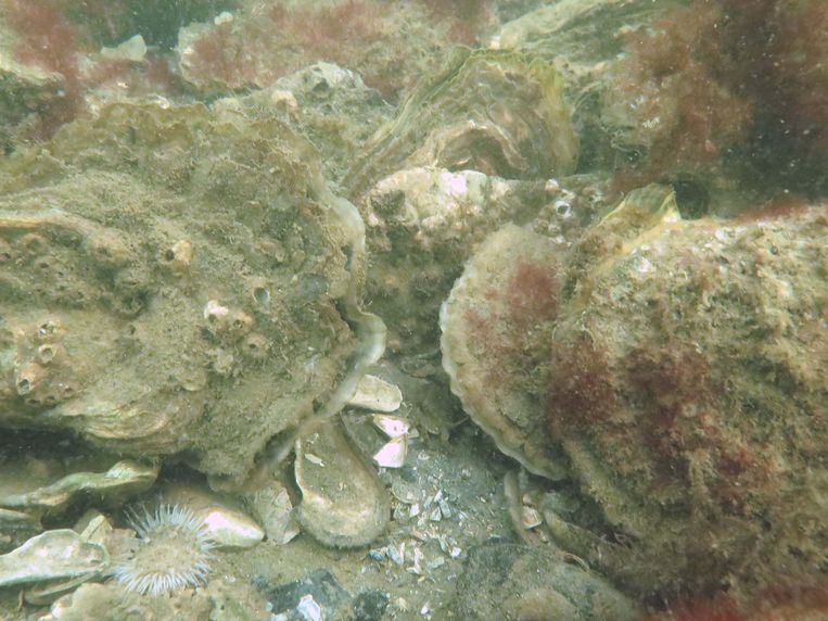 Japanse oester (links) en platte oester (rechts). Beeld Bureau Waardenburg