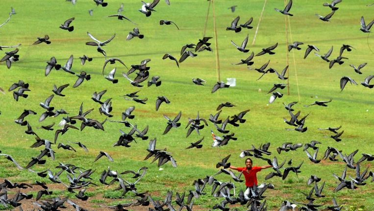 Duiven op een veld in India. Beeld EPA