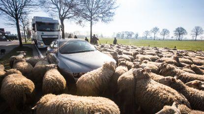 Gezèèèllig, zo'n schapenfile