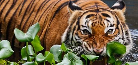 Tijger doodt oppasser in Engelse dierentuin