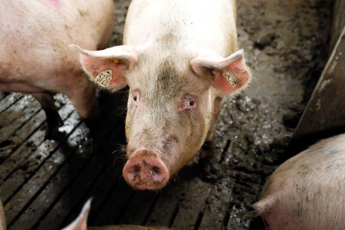 Varkens in een stal.