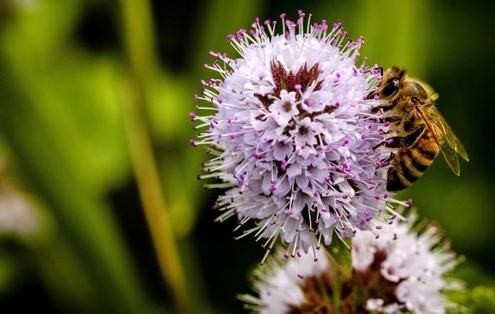 De zeven nieuwe bijensoorten zijn volgens de provincie Utrecht 'goed nieuws'.