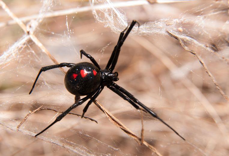 Wetenschappers ontrafelen het webgeheim van de zwarte weduwe