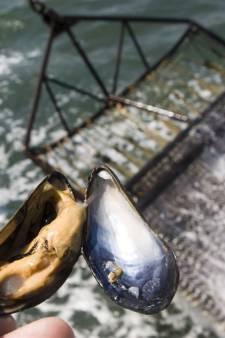 Mosselkwekers kunnen 12 miljoen kilo mosselzaad opvissen