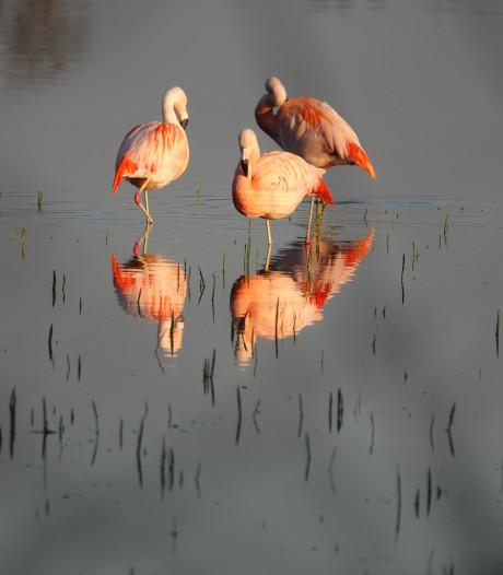 Zwillbrock kleurt weer flamingo-roze
