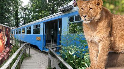 """""""Is het onze schuld dat Rani is doodgeschoten?"""": bezoekers zitten met vragen nadat leeuwin gevaarlijk dicht bij hen kwam"""