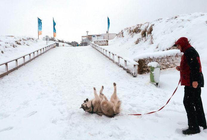 Een poolhond rolt lekker in de sneeuw terwijl zijn baasje toekijkt op het strand van Dierhagen bij Rostock aan de Oostzee.