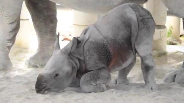 Eerste neushoorn geboren via kunstmatige inseminatie