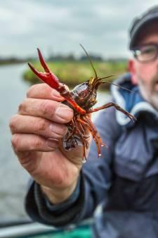 Ruud bestrijdt rivierkreeftenplaag door ze op te eten: 'Textuur net een gamba, de smaak bijna zoetig'