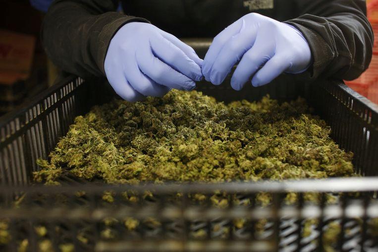 De bende verhandelde op grote schaal cannabis