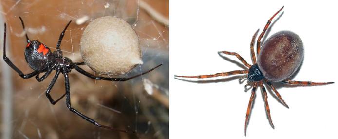 Links de zwarte weduwe, rechts de koffieboonspin. De eerste is giftig en komt in Nederland niet voor. De tweede is ongevaarlijk, en zien we hier wel. Ze lijken wel enigszins op elkaar, en horen dan ook allebei tot de kogelspinnen.