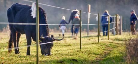 De Maashorst start met kleine ingrepen voor grote grazers voor betere veiligheid recreant