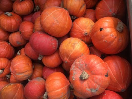 Volop pompoenen bij Groentenhof Poelen in Groesbeek tijdens de jaarlijkse Halloween Pompoendagen