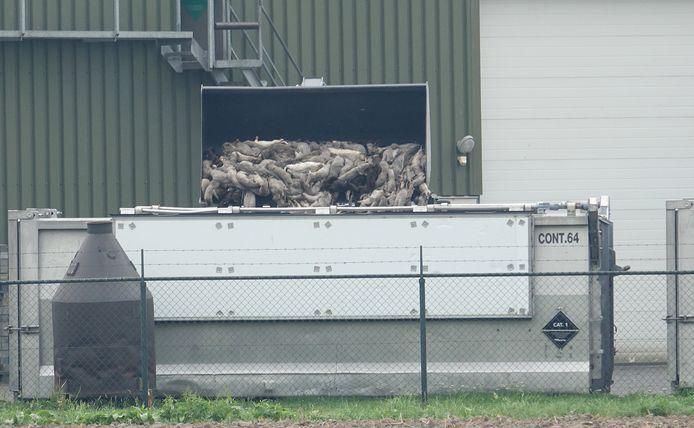 Het ruimen van nertsen in Ottersum.