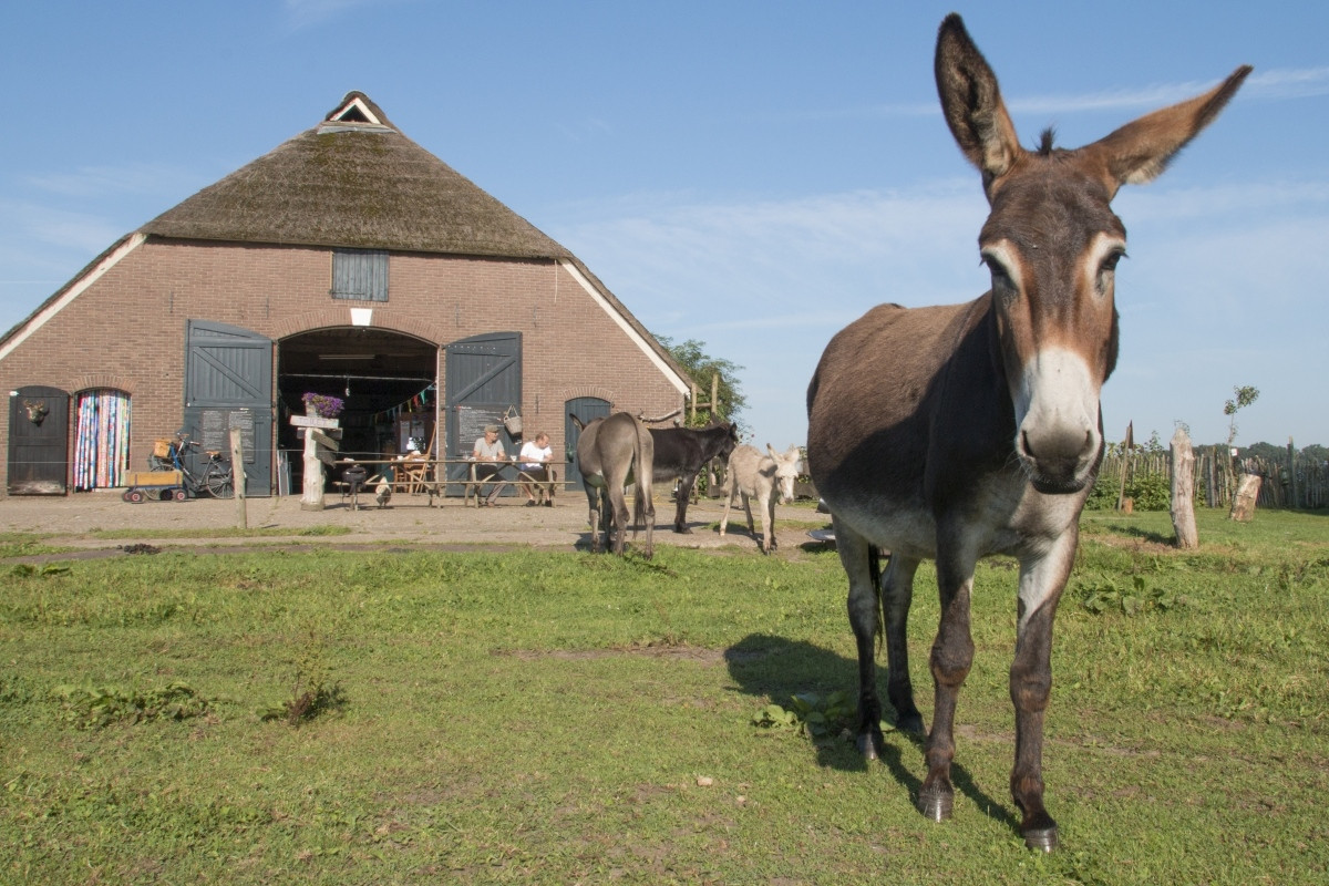 Stichting ezelopvang de Grote Ezel in Olst moet verhuizen per 1 januari 2017. Waarheen is nog onbekend. foto Erna Lammers