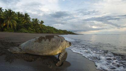 Zeeschildpadden zijn geniepiger dan gedacht: wijfjes bouwen loknesten om roofdieren in de war te brengen