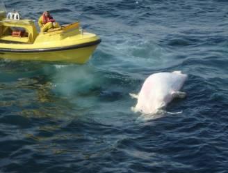 Kadaver van walvis drijft voor Belgische kust