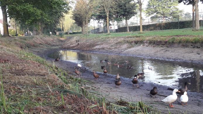 De Roodloop droogt op in Hilvarenbeek. De eenden staan er wat beteuterd bij.