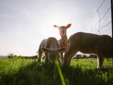 Twee schapen doodgebeten bij kinderboerderij Het Kukelnest in Goor