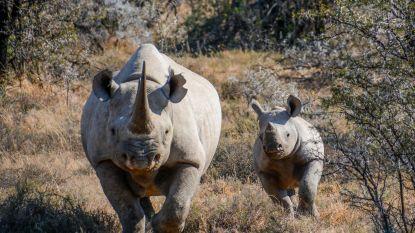Zuid-Afrika mag trofeejacht op zwarte neushoorn zo goed als verdubbelen