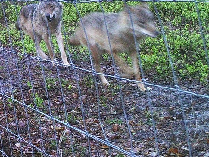 De eerste foto van het wolvenpaar op de Veluwe.