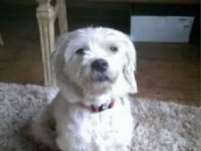 Hoogzwanger hondje vermist in Zwolle: 'Het is buiten veel te koud voor puppies'