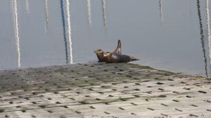 VIDEO. Sea Life Blankenberge laat 500ste zeehondje vrij in Nieuwpoortse jachthaven, Nona maakt meteen vriendjes