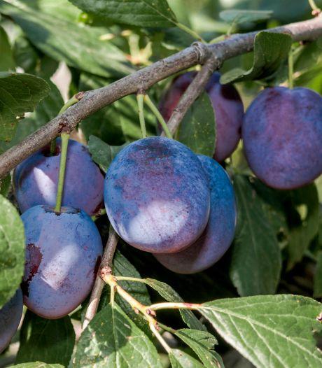 Breekbare pruimenboom wil een tuinier met discipline