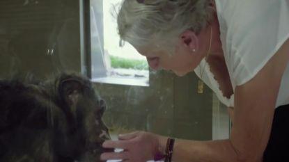 Emotioneel moment in 'Leve De Zoo' met Arnout Hauben: chimpansee Judy herkent opvoedster Lies nog