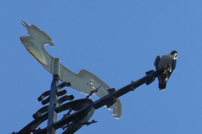 Een van de slechtvalken kijkt zenuwachtig toe op alle werkzaamheden vlakbij het nest.