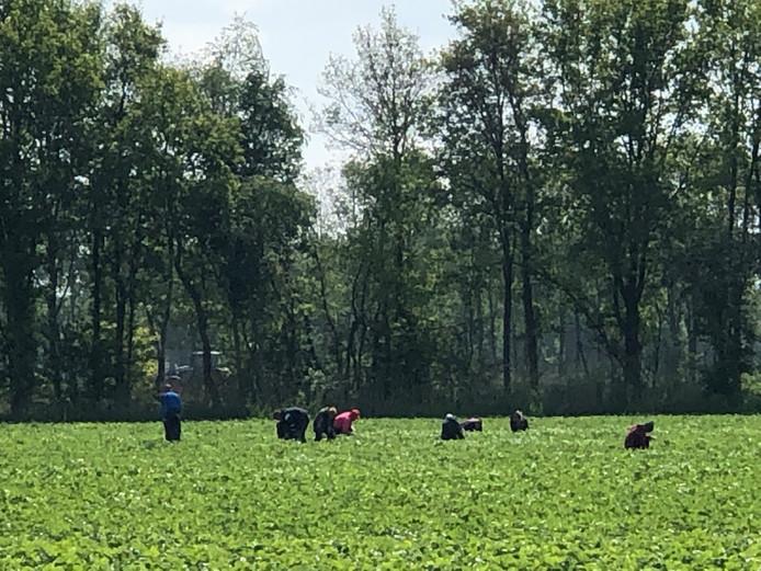 Arbeidsmigranten aan het werk in een aardbeienveld in Mariaheide.