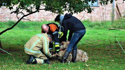 Schaap zit vast in benarde positie, maar brandweer snelt ter hulp