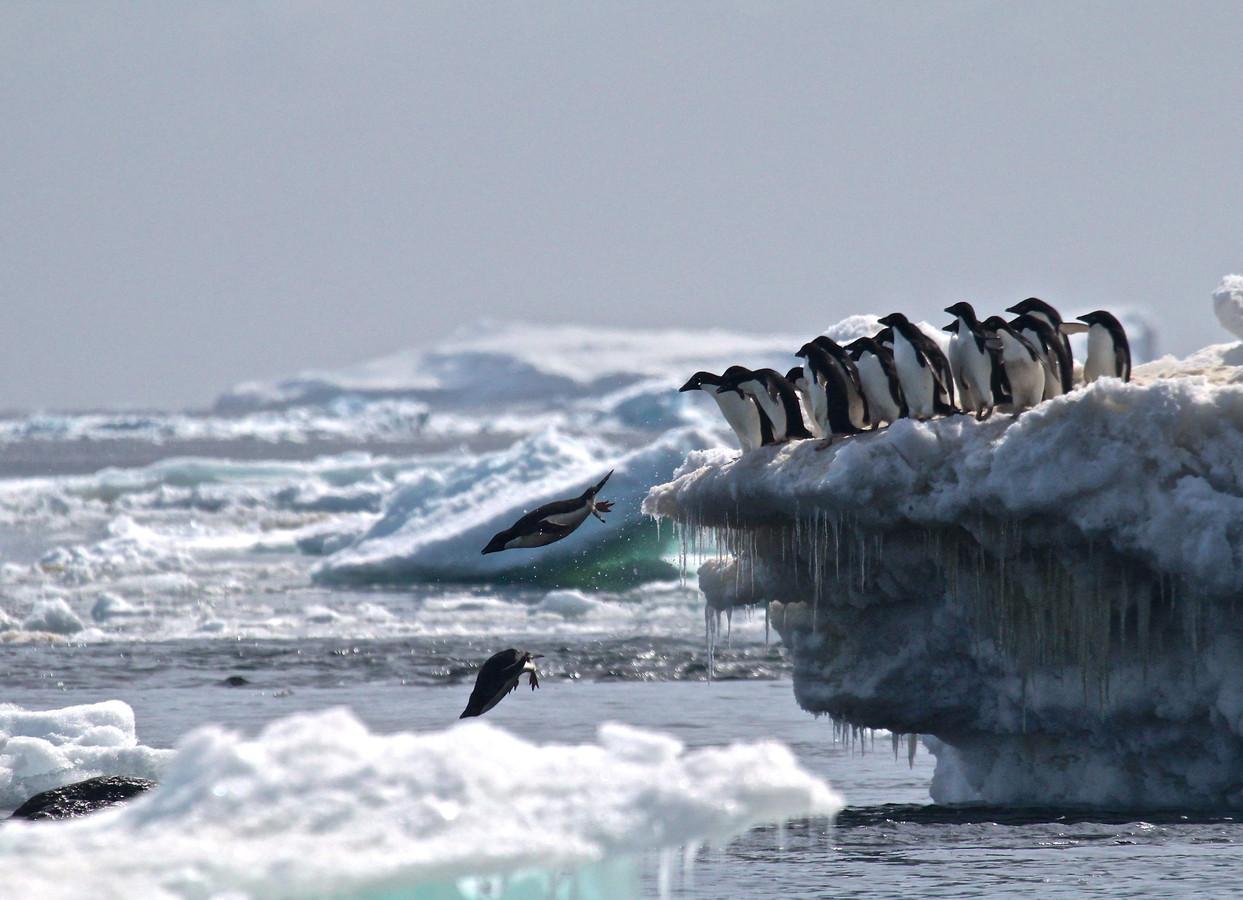 Adéliepinguins springen van een ijsberg bij Danger Islands, Antarctica