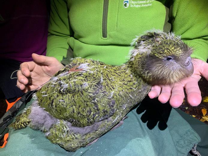 Een kakapo-kuiken.