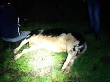 Loslopende koe is politie te slim af: 'Boeven vangen lukt ons makkelijker'