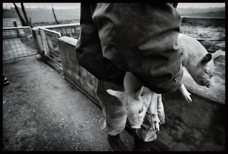 Een boer in Dreumel brengt zijn biggen in veiligheid, februari 1995.  Beeld Marcel van den Bergh / de Volkskrant