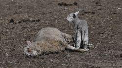 Lammetje waakt bij moederschaap dat stierf door extreme droogte in Australië