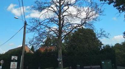 """Zieke esdoorn in Diepestraat wordt gekapt: """"Kapelletje wordt later opgehangen tegen nieuwe boom"""""""