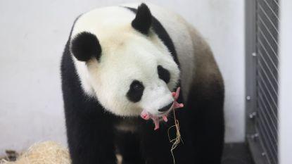 Krijgt panda Tian Bao binnenkort een broertje of zusje?