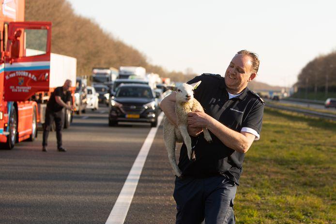 Een medewerker van Rijkswaterstaat heeft het lammetje overhandigd aan de dierenambulance.