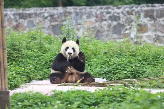 Xing Ya, een van de twee panda's die naar Ouwehands Dierenpark in Rhenen komen.