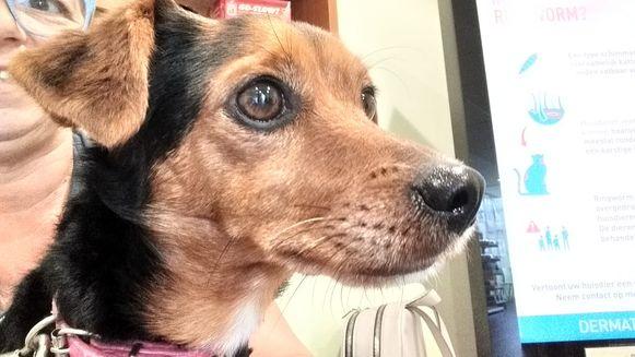 Het hondje Missy wordt opgevangen bij Dierenplezier Zennevallei, maar heeft wel een operatie nodig om opnieuw goed te kunnen stappen.