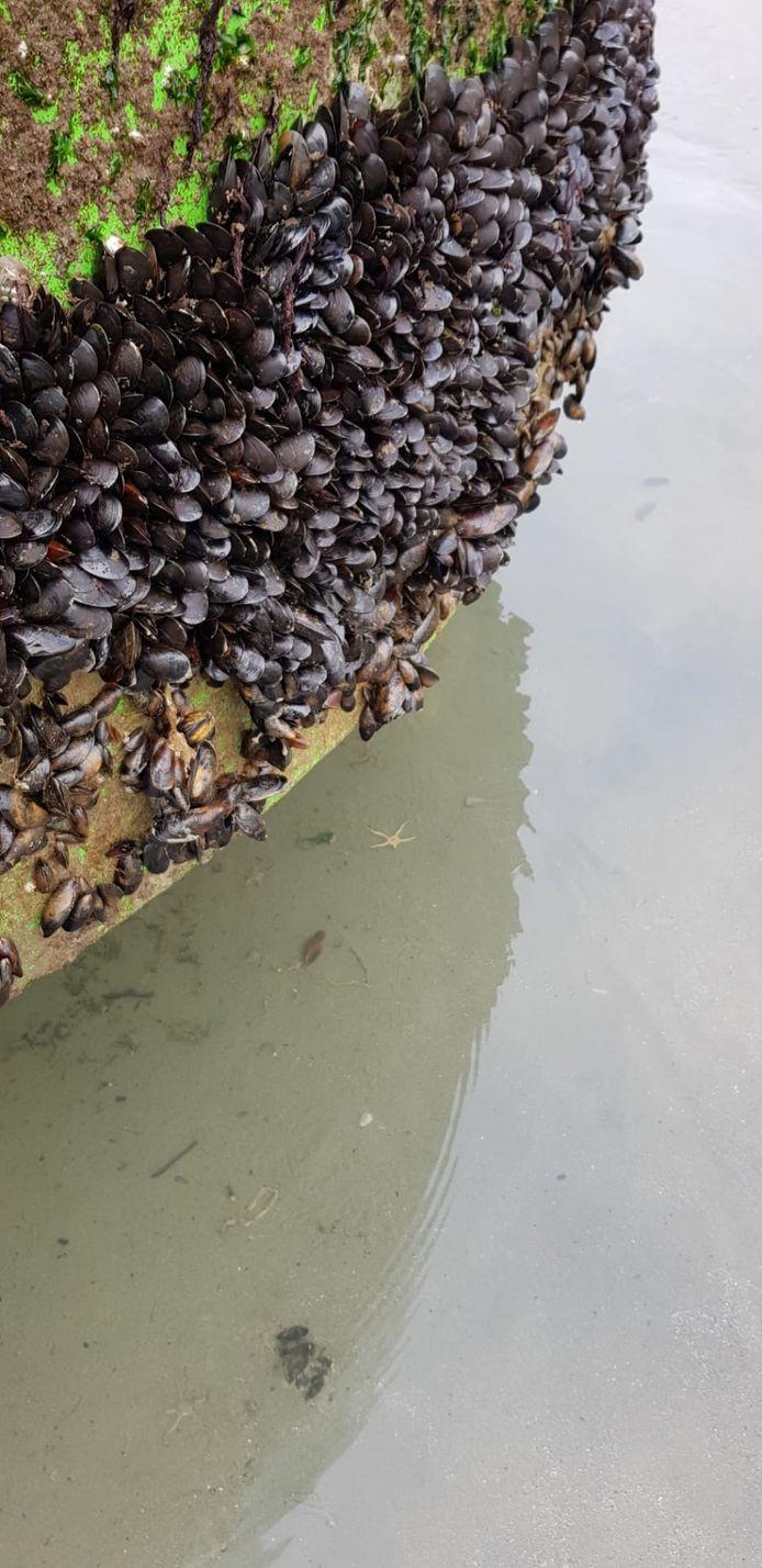 De boei is onder meer begroeid met mosselen.