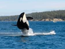 Rusland begonnen met vrijlating honderd walvissen