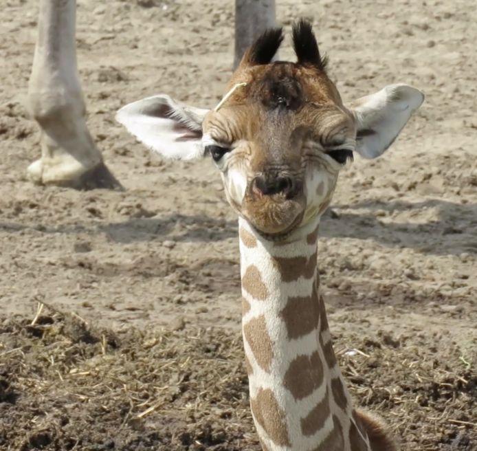 Natasja is het eerste jonge girafje dat dit jaar is geboren in de Beekse Bergen.